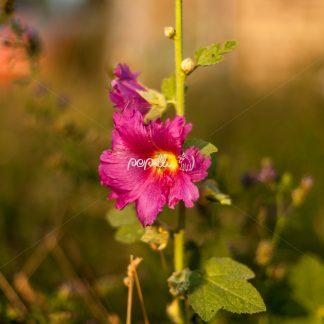 Alcea rosea – Gewöhnliche Stockrose - Papillu