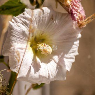 Alcea rosea – Gewöhnliche Stockrose am Getreidefeld - Papillu