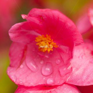 Blüte - Papillu