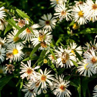 Blumen - Papillu