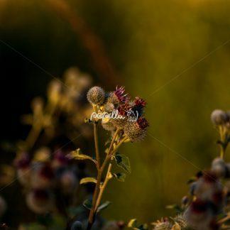Diestel beginnt zu blühen - Papillu