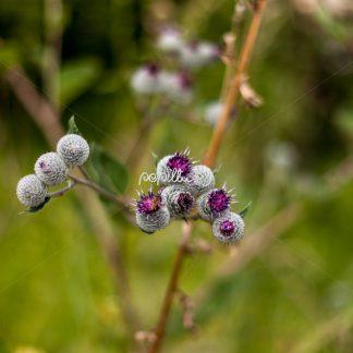 Diestel vor der Blüte - Papillu