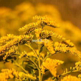 Gewöhnliche Goldrute (Solidago virga-aurea) - Papillu