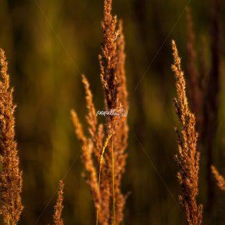 Gräser - Papillu