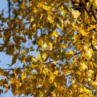 Herbst - Papillu