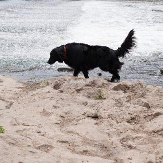 Hund - Papillu