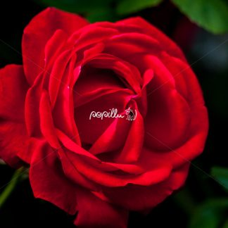 Rote Rose - Papillu