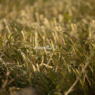 pflanzen-4838 - Papillu