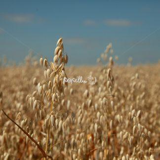 Getreidefeld - Papillu