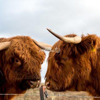 Highlandrind - Papillu