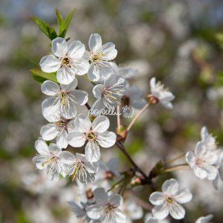 Frühjahrsblüte - Papillu´ Lampen Design, Grafik und Fotografie