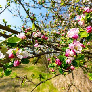Garten Apfel - Papillu´ Lampen Design, Grafik und Fotografie